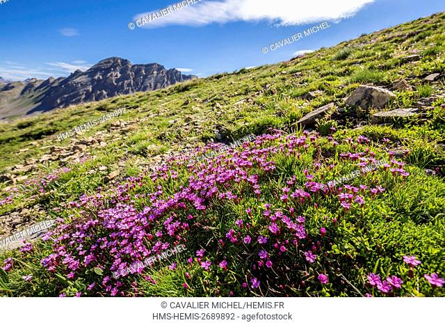 France, Alpes de Haute Provence, Mercantour National Park, Haute Hubaye, the silene acaule (silene acaulis) is a characteristic plant of the alpine spaces