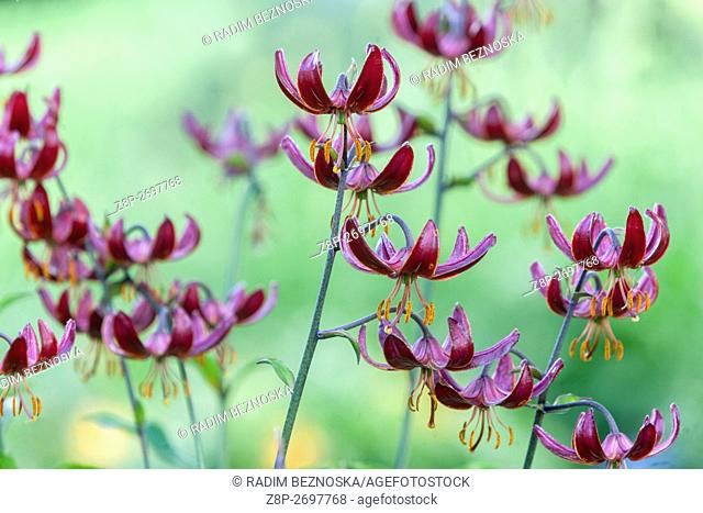 Turk's cap lily , Lilium martagon 'Marhan'
