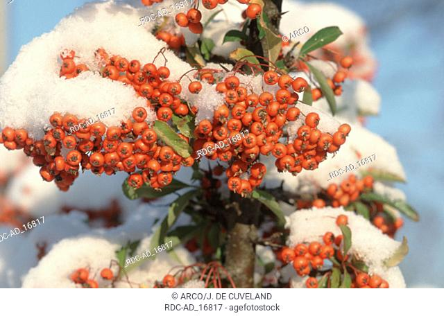 Snow covered Firethorn berries Pyracantha coccinea