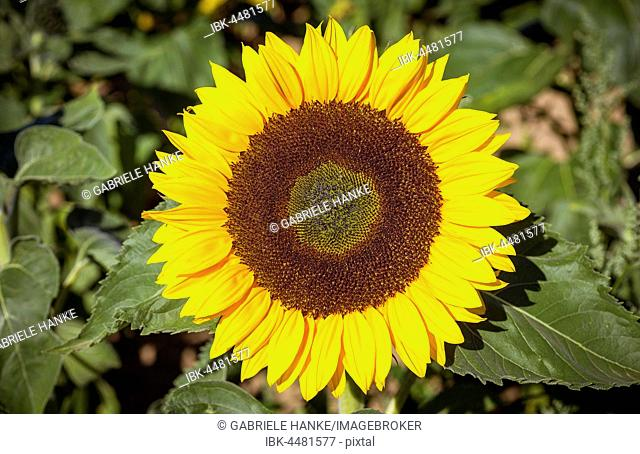 Sunflower (Helianthus annuus) blooming, Saxony, Germany