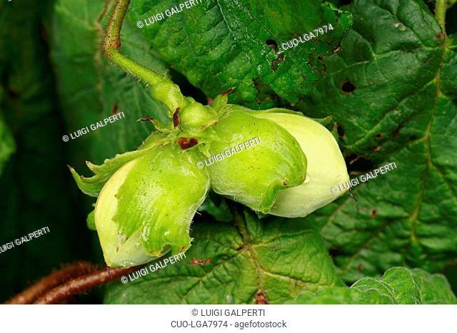 Corylus avellana, noccioloHazel