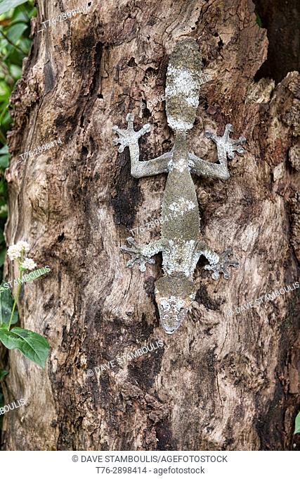 Mossy leaf-tailed gecko (Uroplatus sikorae), Andasibe-Mantadia National Park, Madagascar
