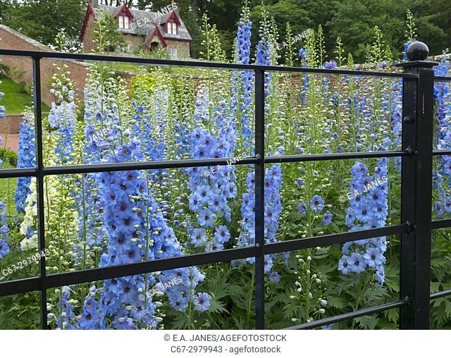 Delphiniums through park fencing in English herbaceous border