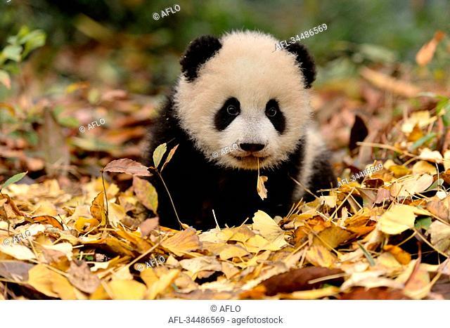 Giant Panda, China