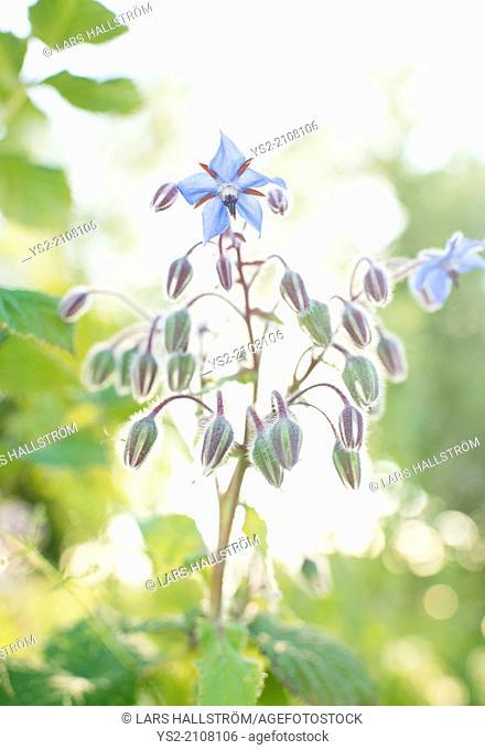 Borage (Borago officinalis) flower growing in herbal garden