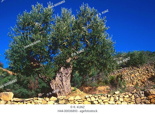 Olive tree, Olea europaeae, Oleaceae, tree, plant, crop plant, stone walls, Castellon, Spain
