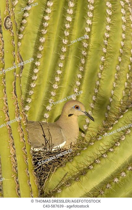 White-winged Dove (Zenaida asiatica). Sitting on the nest which is well protected by the spines of a Giant Saguaro cactus (Carnegiea gigantea)