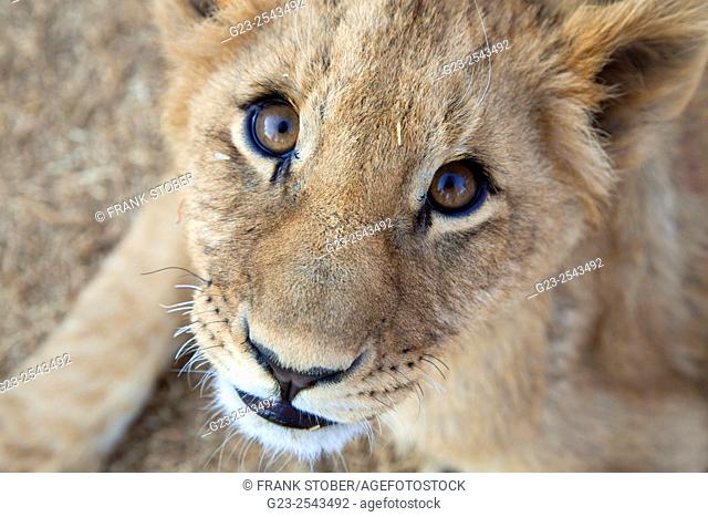 Close-up of young lion