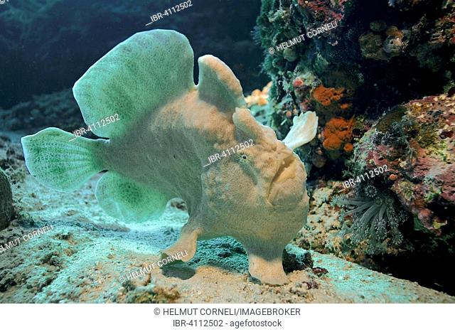 Commerson's Frogfish or Giant Frogfish (Antennarius commerson), Panglao, Bohol, Visayas, Indo-Pacific Ocean, Philippines