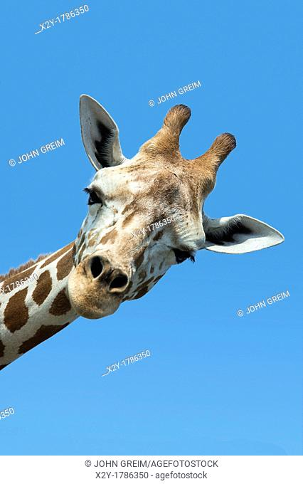 Giraffe portrait, Giraffa camelopardalis tippelskirchi