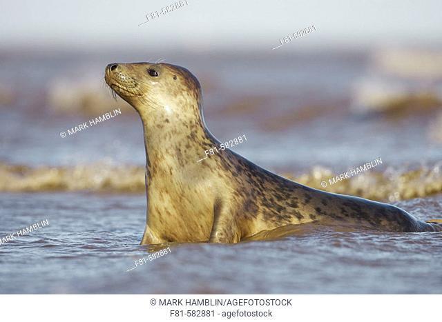 Grey Seal  (Grypus halichoerus) female in surf. North Lincolnshire, UK. November 2005