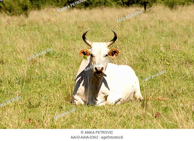 Cattle, Free State, South Africa