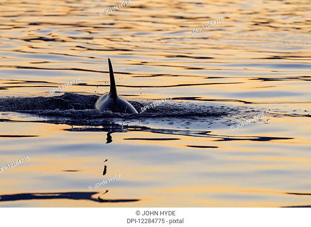 Young orca Whale (Killer Whale) (Orcinus orca) surfaces in Lynn Canal on a summer evening, Inside Passage; Alaska, United States of America