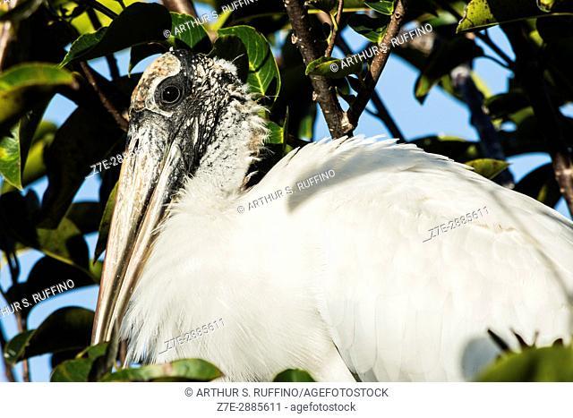 Portrait of a wood stork, Florida, USA