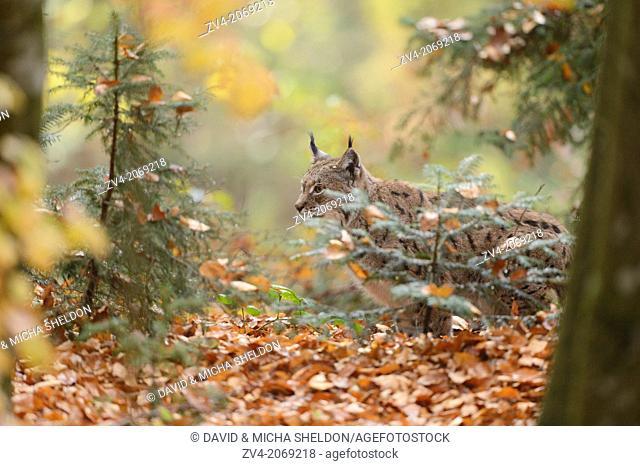 Close-up of an Eurasian lynx (Lynx lynx) in autumn in the bavarian forest