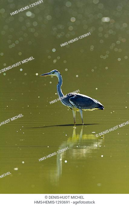 Kenya, lake Magadi, Grey Heron (Ardea cinerea), fishing
