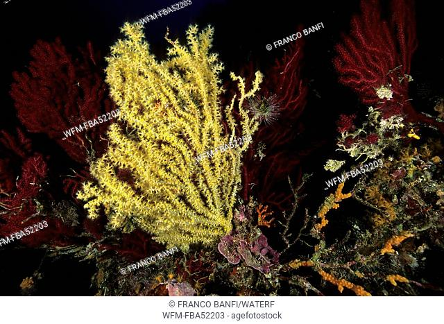 Mediterranean Black Coral, Gerardia Savaglia, Vis Island, Dalmatia, Adriatic Sea, Croatia