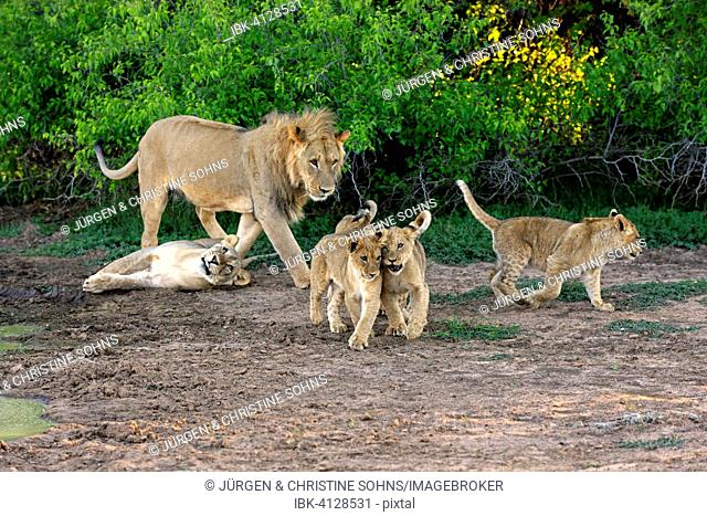 Lions (Panthera leo), pride of lions with cubs, four months, Tswalu Game Reserve, Kalahari Desert, South Africa