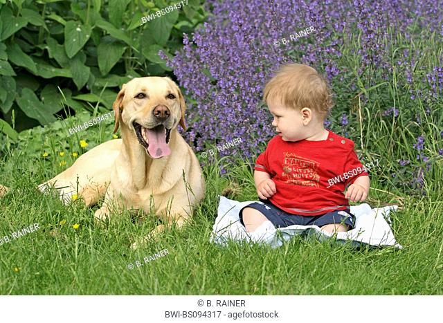 Labrador Retriever (Canis lupus f. familiaris), with one year old child, Germany