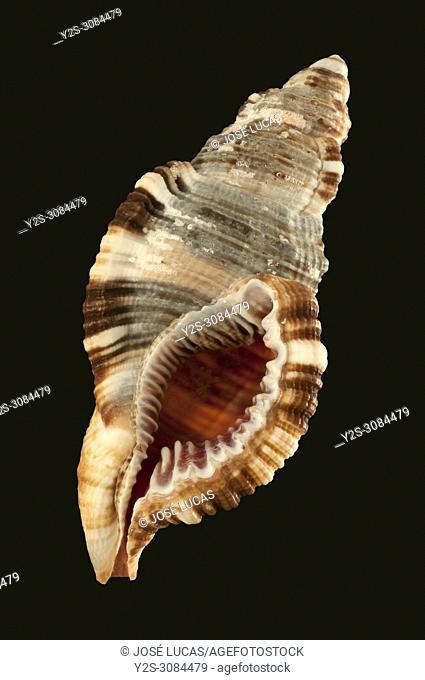 Seashells of Cymatium pileare. Malacology collection. Spain. Europe