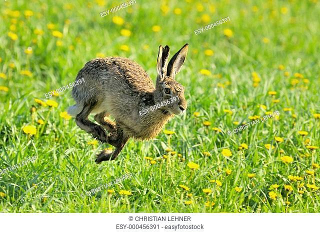 Lauf Hase lauf