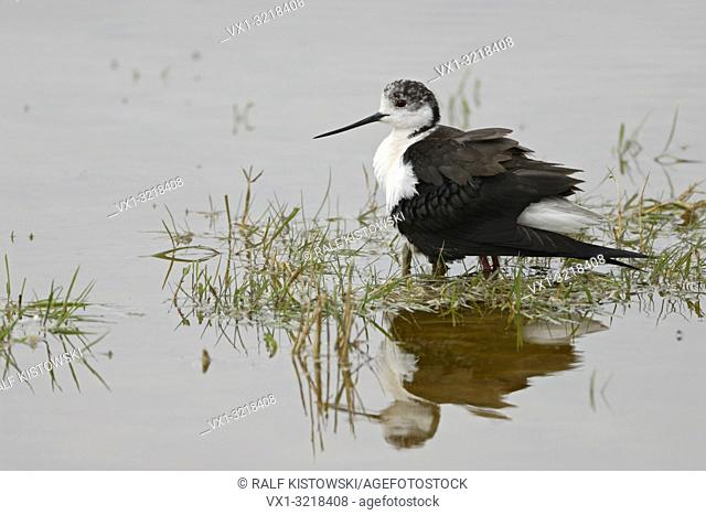 Black-winged Stilt / Stelzenläufer ( Himantopus himantopus ), crouching adult, protecting, gathering chicks under its body, plumage, looks funny, Europe