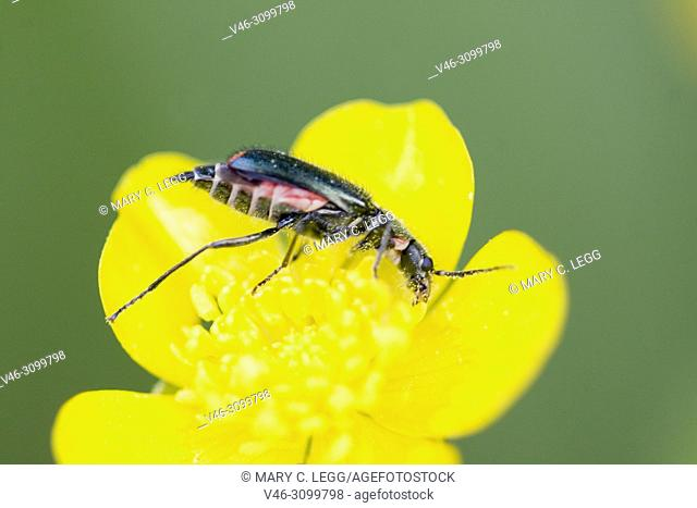 Malachite Beetle, Cordylepherus viridis on buttercup. Malachite Beetle, Cordylepherus viridis. a sexually dimorphic soft-bodied beetle often found in meadow...