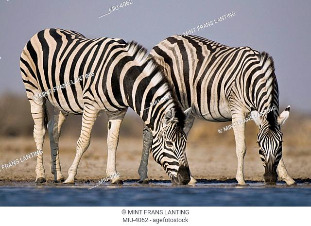 Zebras drinking at waterhole, Equus quagga, Etosha National Park, Namibia