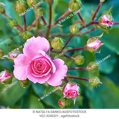 blooming bud of pink rose on the background of green leaves, top view