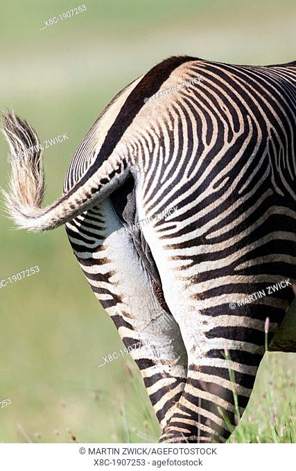Grevy's Zebra Equus grevyi, Kenya  The Grevy's Zebra is the largest wild equid  It is strictly protected an is listed as endangered species  Africa, East Africa