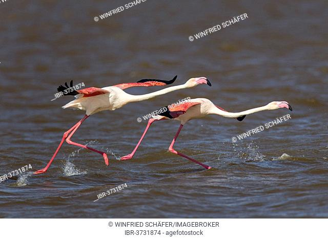 Greater Flamingoes (Phoenicopterus roseus), Namib-Naukluft National Park, Sandwich Harbour, Erongo Region, Namibia