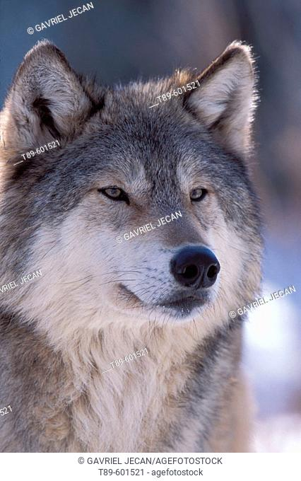 Portret of a  Gray Wolf (Canis lupus) also spelled Grey Wolf, also known as Timber Wolf , is a mammal in the order Carnivora