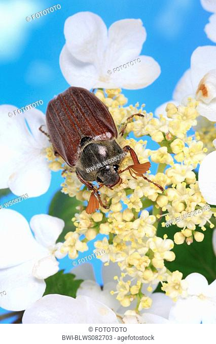 common cockchafer, maybug Melolontha melolontha, on white blossoms