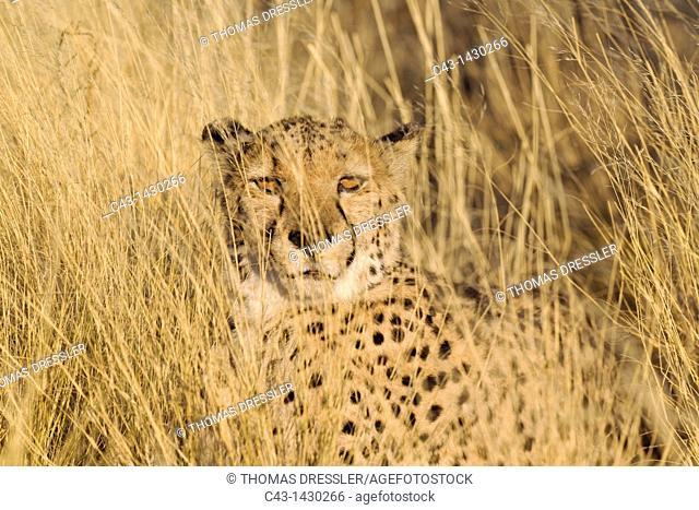 Cheetah Acinonyx jubatus - Resting male  Photographed in captivity on a farm  Namibia