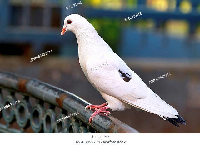 feral rock pigeon (Columba livia), partial leucism, Costa Rica