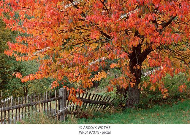Cherry, Tree, in, autumn