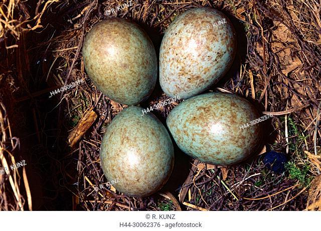 Common Blackbird, Turdus merula, Turdidae, nest of eggs, eggs, bird, animal, Dübendorf, Canton of Zurich, Switzerland
