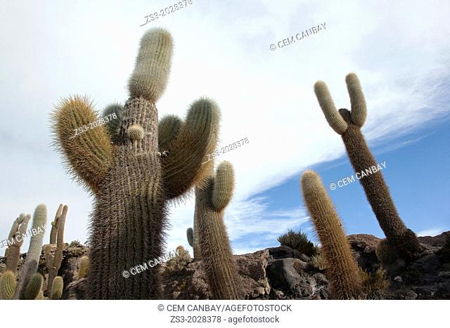 Cacti on Isla de los Pescadores, Salar Uyuni, Southwest Highlands, Bolivia, South America