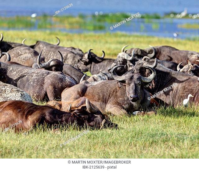 Large group of African buffalos (Syncerus caffer) lying at Lake Nakuru, Lake Nakuru National Park, Kenya, East Africa, Africa, PublicGround