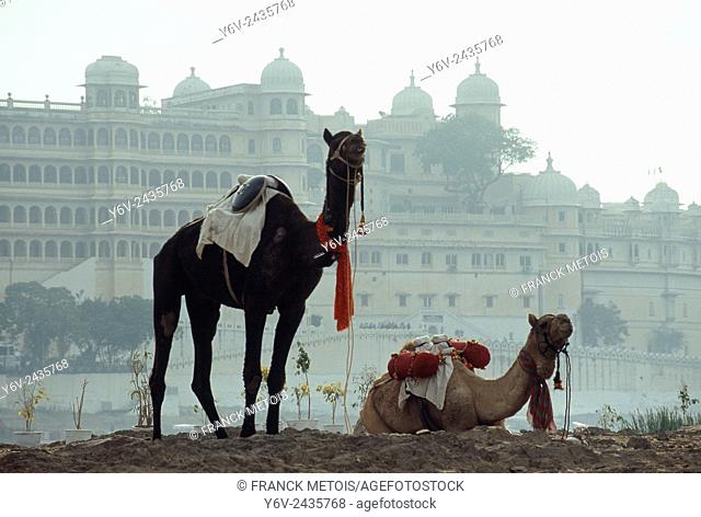 Decorated dromedaries in front of the City palace at Udaipur ( India)