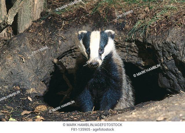 European Badger (Meles meles), England