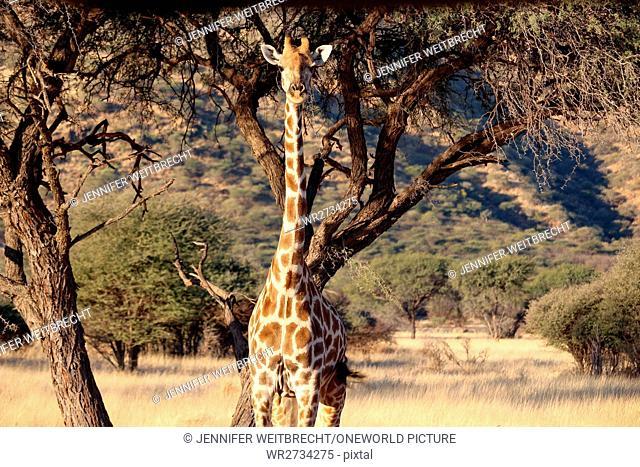 Namibia, Okapuka Ranch, Safari, Game Drive, Giraffe in beautiful landscape