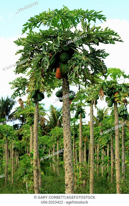 Papaya crop and trees in Homestead, Florida, USA