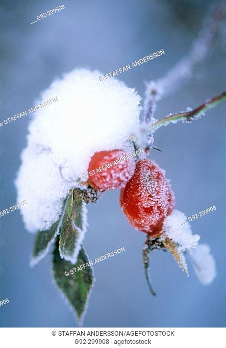 Frost and snow on rosehip (lat. Rosa sp.). Sweden, Scandinavia, Europe