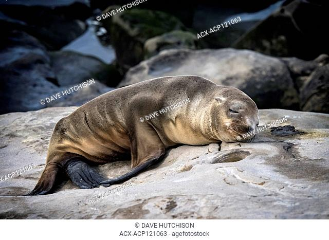 California sea lion (Zalophus californianus), La Jolla, Southern California, USA