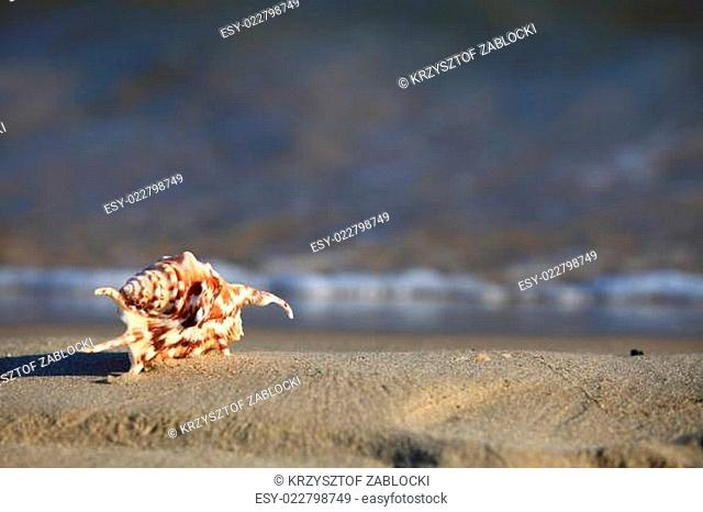 sea shell on beach at ocean background