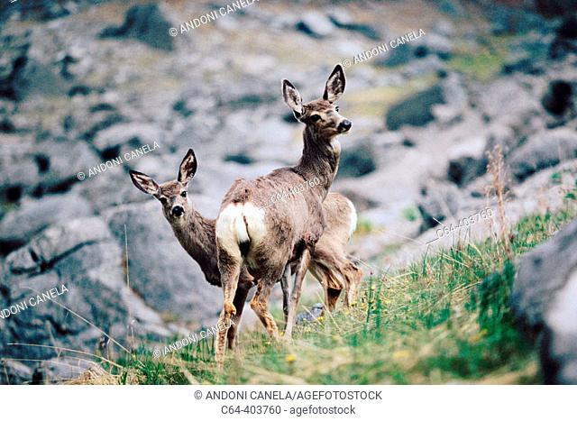 White tail deer. Rocky Mountains. Banff and Jasper National Park. Canada
