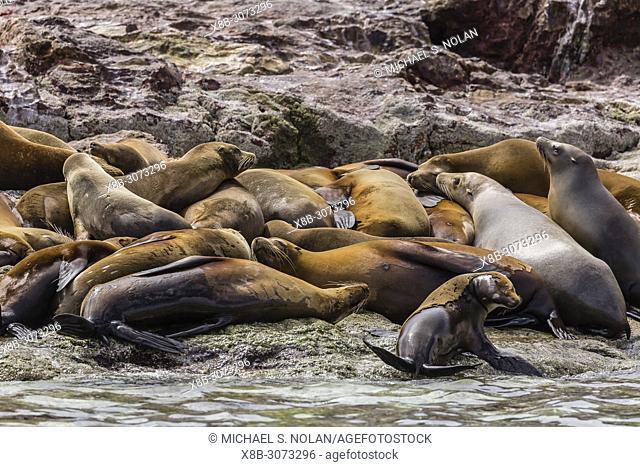 Adult California sea lions, Zalophus californianus, basking on shore, Isla Rasa, Baja California, Mexico