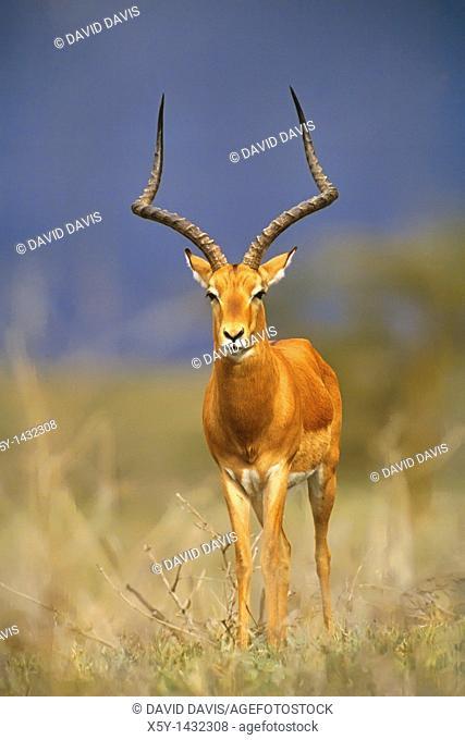 Male Impala Aepyceros melampus on the Masia Mara Game Reserve, Kenya, Africa