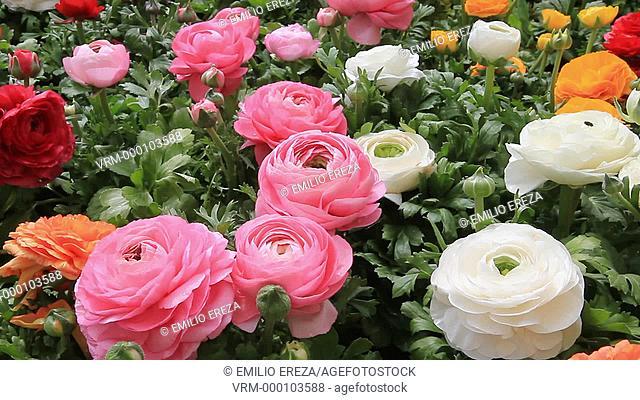 Ranunculus flowers. Garden Center. Cambrils, Tarragona, Catalonia, Spain
